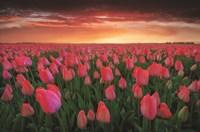 Tulip Field Sunset Framed Print