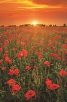 Poppies at Sunset Fine Art Print