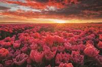 Tulip Magnificence Fine Art Print