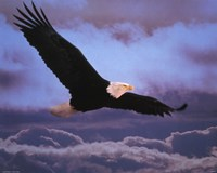 Bald Eagle In Flight Fine Art Print
