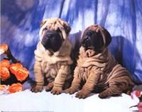 Shar Pei Pups Fine Art Print