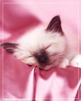 Kitten Sleeping Fine Art Print