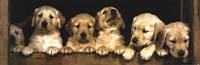 "Golden Retriever Puppies - 36"" x 12"" - $12.99"