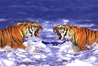 "Bengal Tigers Roaring by Richard Henson - 36"" x 24"""