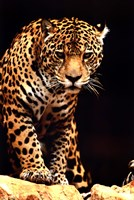 Leopard - photo Wall Poster