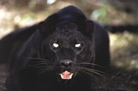 Black Panther Close Up Framed Print