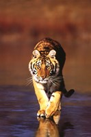 Tiger Walking Wall Poster