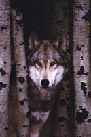 Gray Wolf Wall Poster