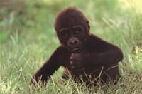 Gorilla Baby Fine Art Print