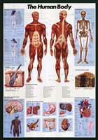Human Body Wall Poster
