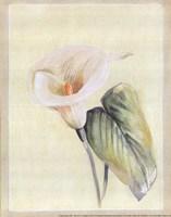 "Calla Lily II by Paul Hargittai - 8"" x 10"""
