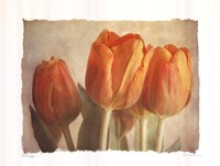 """20"""" x 16"""" Tulips Pictures"""