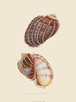 Chelsea Shells-3 of 6 Fine Art Print