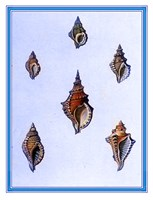 Shells-3 of 4 Fine Art Print