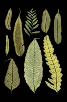 Ferns on Black II by Richard Henson - various sizes
