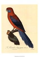 "Parrot, PL 78 by Jacques Barraband - 13"" x 19"""