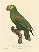 Parrot, PL 86 Fine Art Print