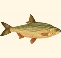 Small Antique Fish VI Fine Art Print