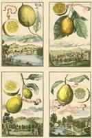 Miniature Lemons Fine Art Print