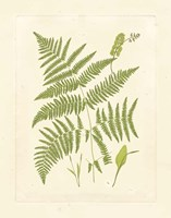 Ferns with Platemark I Framed Print