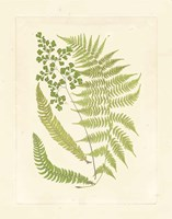 Ferns with Platemark III Framed Print