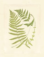 Ferns with Platemark V Framed Print