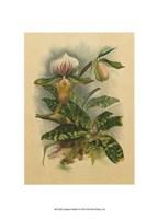 """Lindenia Orchids I by Chariklia Zarris - 7"""" x 9"""""""