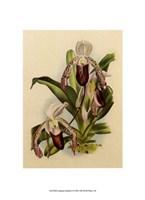 "Lindenia Orchids II by Chariklia Zarris - 7"" x 9"""