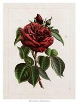 Van Houtteano Rose I Fine Art Print