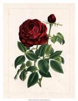 Van Houtteano Rose II Fine Art Print
