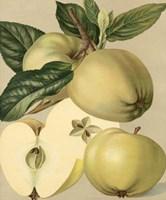 "Apple Harvest II by Chariklia Zarris - 20"" x 24"", FulcrumGallery.com brand"