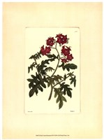 Red Curtis Botanical III Fine Art Print