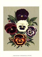 """Tricolor Pansies I by Vision Studio - 10"""" x 13"""", FulcrumGallery.com brand"""