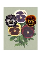"""Tricolor Pansies II by Vision Studio - 8"""" x 10"""", FulcrumGallery.com brand"""