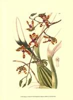Orchids III Fine Art Print