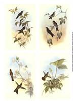 Miniature Gould Hummingbirds Fine Art Print