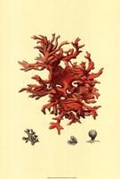 Red Coral (N) III Framed Print