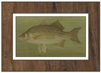 White or Silver Bass Framed Print