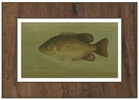 Rock Bass Framed Print