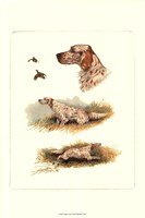 English Setter Framed Print