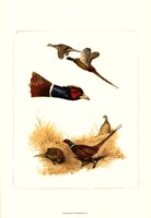Pheasants Fine Art Print