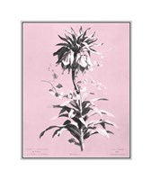 Imperiale on Pink Giclee