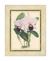 "Orchid IV by Walter H. Fitch - 16"" x 20"" - $61.49"