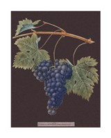 Purple Grapes Giclee