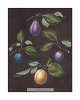 "Plums by George Brookshaw - 13"" x 17"""