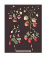 Strawberries Giclee