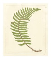 "Broad Buckler Fern by Francis George Heath - 21"" x 25"", FulcrumGallery.com brand"
