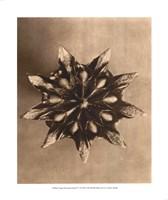 Sepia Botany Study IV Giclee