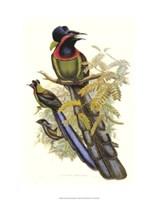 "Bird of Paradise II by John Gould - 13"" x 20"""