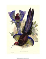 "Bird of Paradise III by John Gould - 19"" x 24"", FulcrumGallery.com brand"